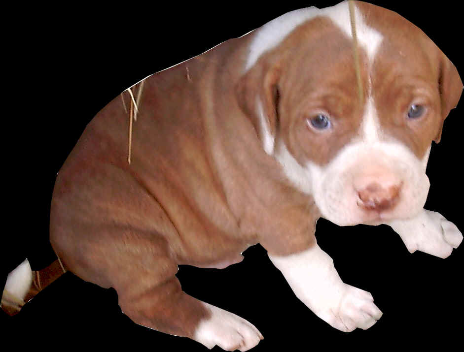... list of colors or patterns. Pit Bulls are as diverse as the rainbow