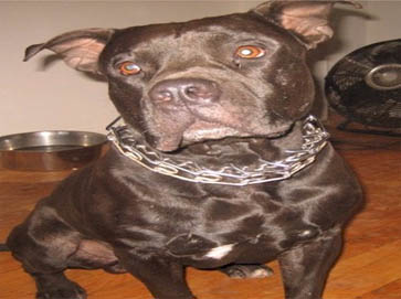 black Pit Bull pictures 10