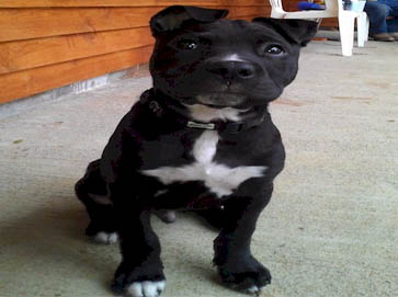 black Pit Bull pictures 11