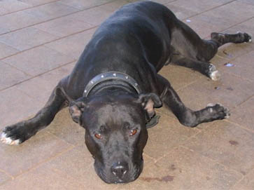 black Pit Bull pictures 14