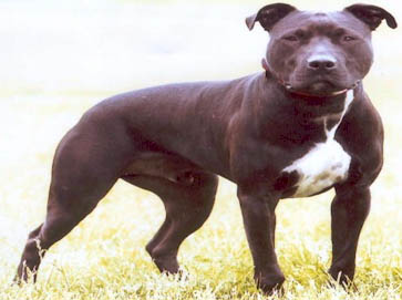 black Pit Bull pictures 4