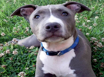 blue Pit Bull pictures 10