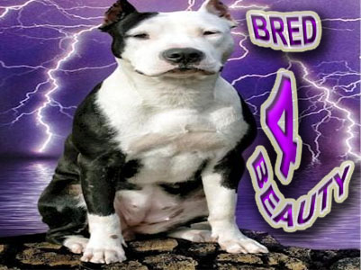 Bred 4 Beauty Pit Bulls Kennel