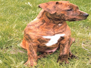 brindle Pit Bull pictures 10
