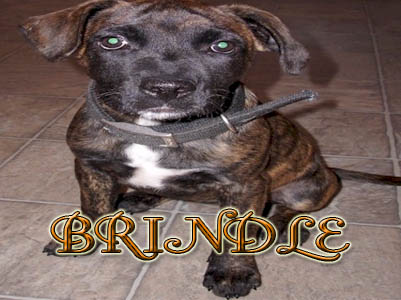 Brindle Pit Bull puppy pictures