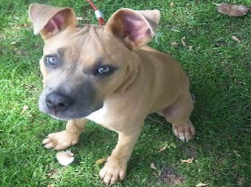 brown Pit Bull puppy pictures 13