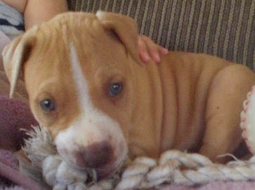 brown Pit Bull puppy pictures 18