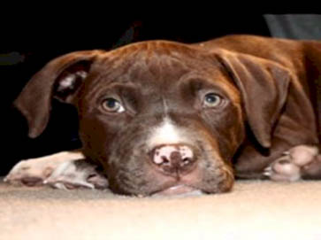 brown Pit Bull puppy pictures 3