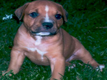 brown Pit Bull puppy pictures 5