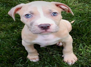 brown Pit Bull puppy pictures 6