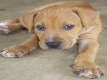 brown Pit Bull puppy pictures 8