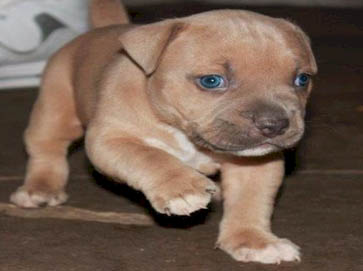brown Pit Bull puppy pictures 9