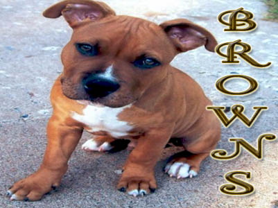 Brown Pit Bull puppy pictures