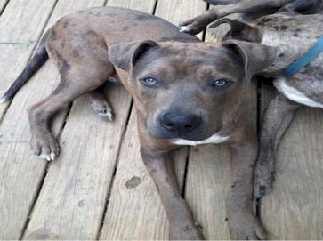 merle Pit Bull pictures 12
