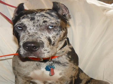 merle Pit Bull pictures 4