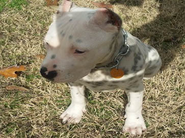 merle Pit Bull pictures 5