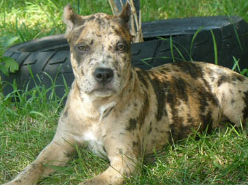 merle Pit Bull pictures 7