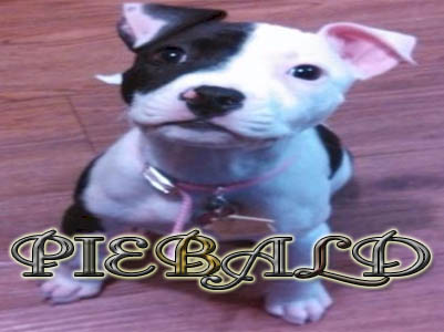 Piebald Pit Bull puppy pictures