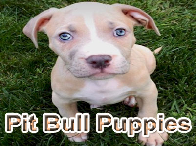 Pit Bull puppy pictures