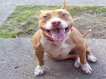 red Pit Bull pictures 16