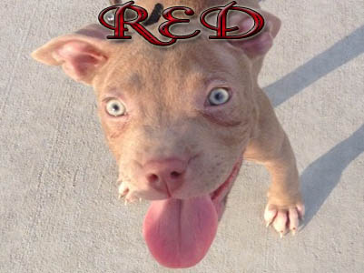 Red Pit Bull puppy pictures