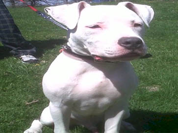 white Pit Bull pictures 3