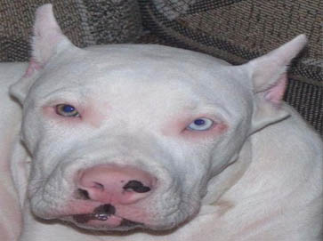white Pit Bull pictures 7