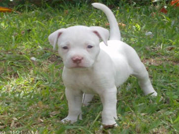 Image Gallery white pitbull