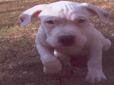 white Pit Bull puppy pictures 10
