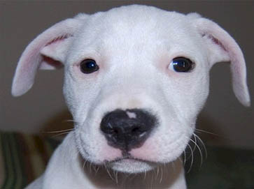 white Pit Bull puppy pictures 11