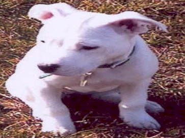 white Pit Bull puppy pictures 14