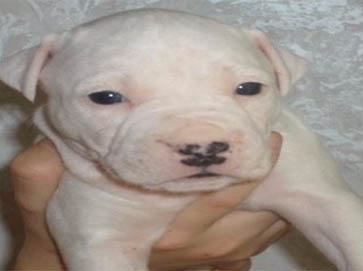 white Pit Bull puppy pictures 15