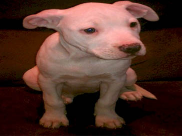 white Pit Bull puppy pictures 2