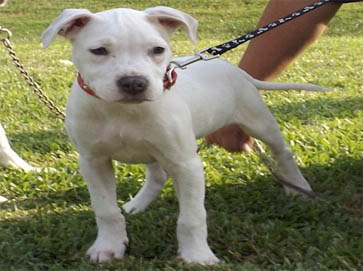 white Pit Bull puppy pictures 5
