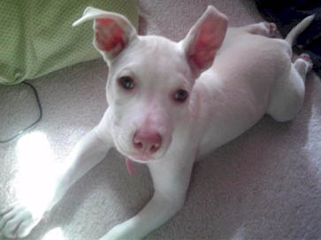 white Pit Bull puppy pictures 6