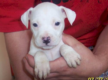 white Pit Bull puppy pictures 9