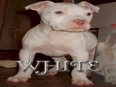 White Pit Bull puppy pictures