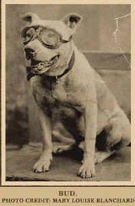 pit bull breed history to present