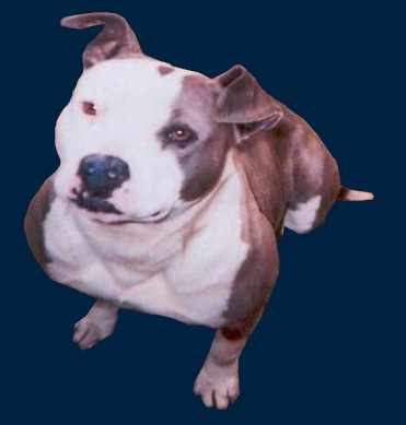 Pit Bull Pictures By Color And Pattern