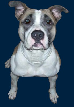 How to register and get papers on my Pit Bull