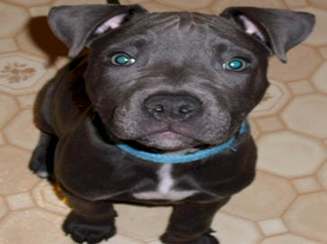 American Pit Bull Registry Black Pit Bull Puppy Pictures