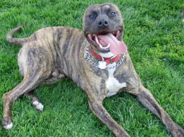 American Pit Bull Registry - Brindle Pit Bull Pictures
