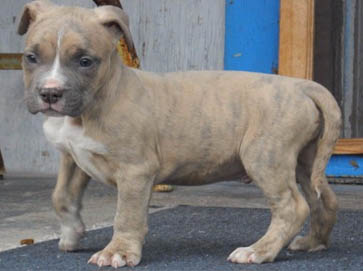 American Pit Bull Registry Brindle Pit Bull Puppy Pictures